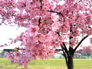 梅小路公園の桜